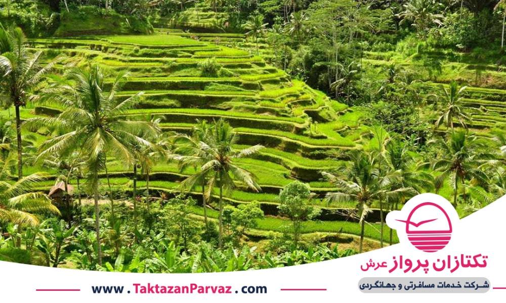 مزارع طبقاتی برنج در اندونزی